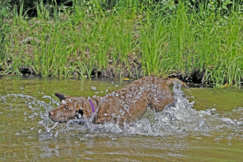 Chesapeake bay retriever che salta nel fiume immagine stock