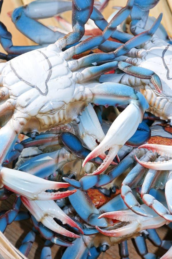 Chesapeake Blauwe Krabben stock foto's