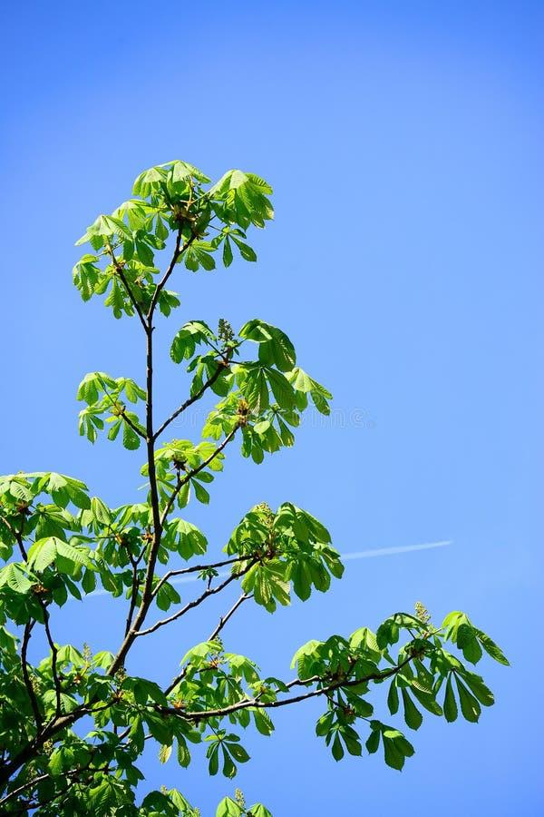 Chesnut выходит на время весны в город Вильнюса стоковая фотография
