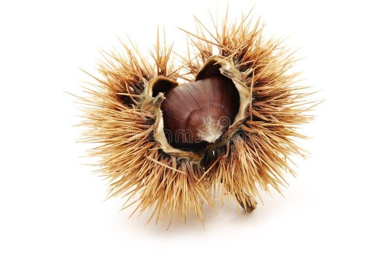 chesnut arkivbild