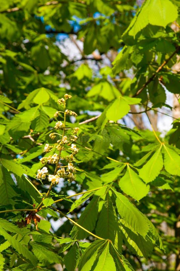 Chesnut arkivfoton