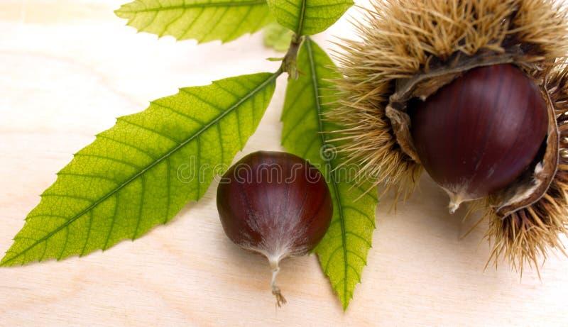 chesnut στοκ φωτογραφίες