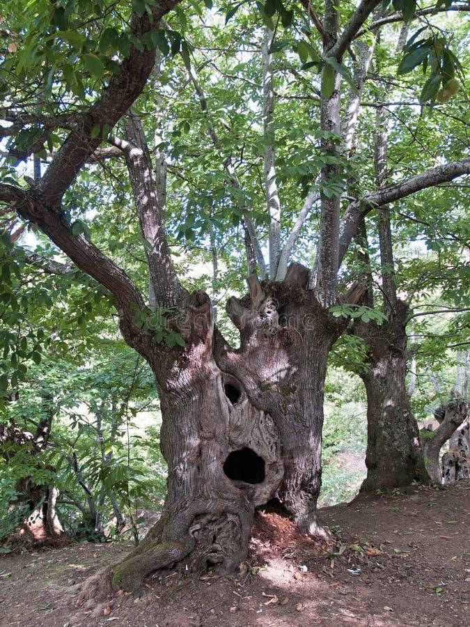 Chesnut royaltyfri bild