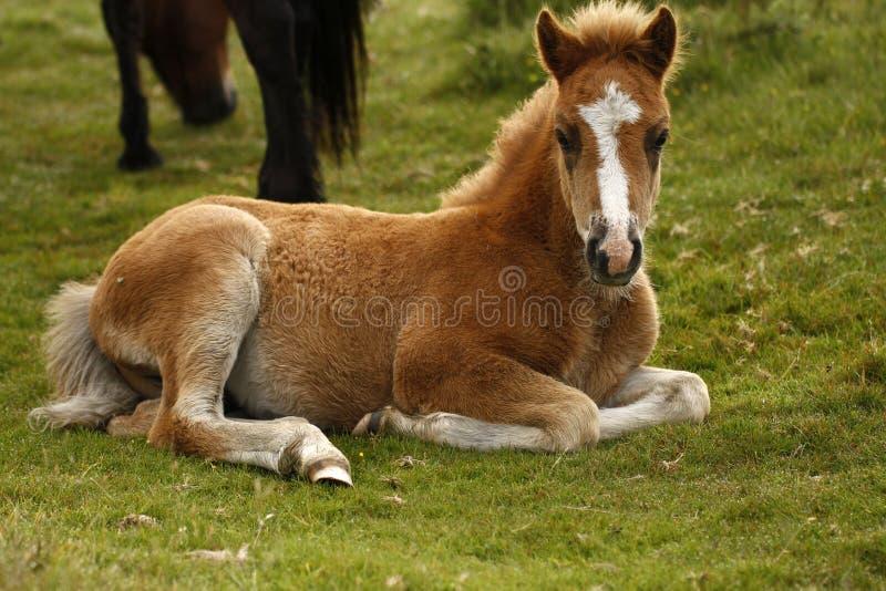 Chesnut Dartmoor Pony Foal fotos de archivo