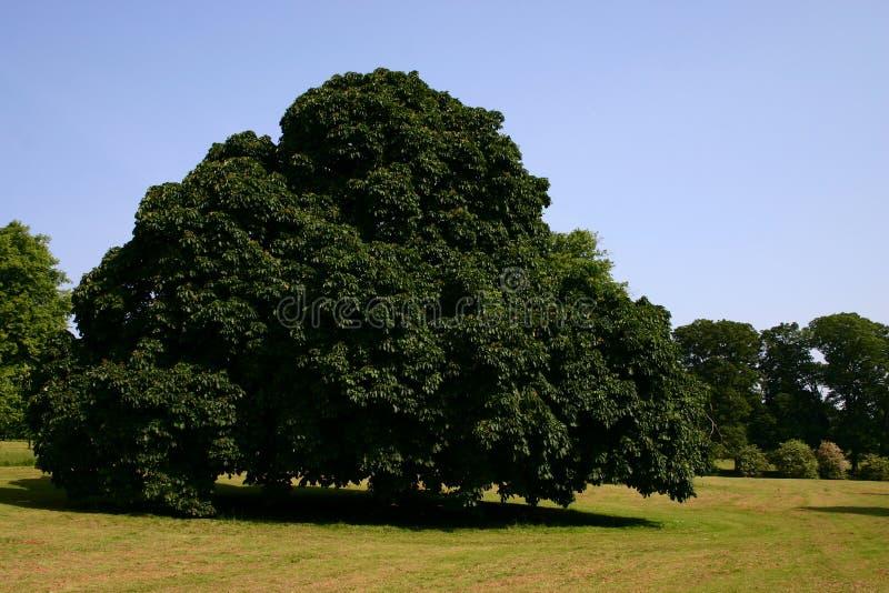 chesnut drzewo obraz royalty free