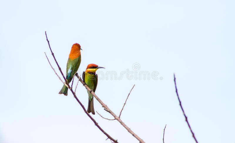 Chesnut-Headed Bee Eater stock images