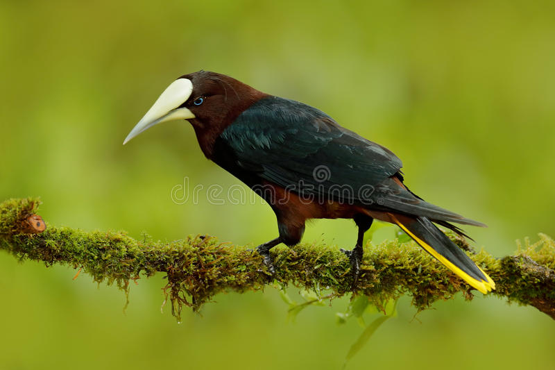 Chesnut-headed Oropendola, Psarocolius wagleri, portrait of exotic bird from Costa Rica, brown with black head and yallow bill, cl stock photography