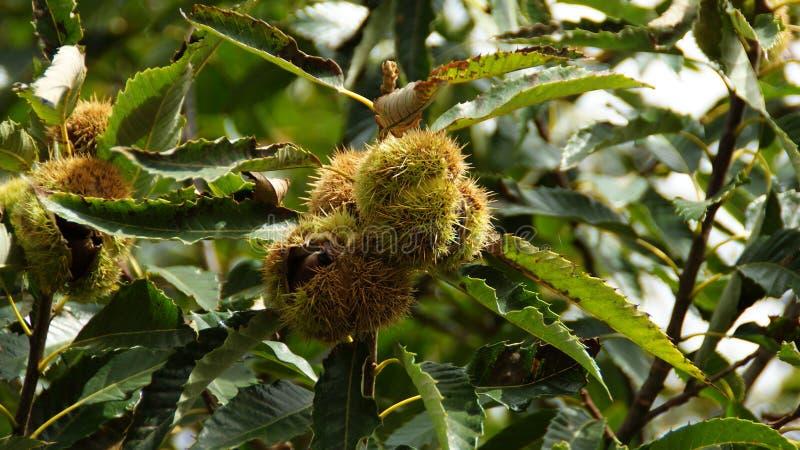 Chesnut i chesnutträdet royaltyfri bild