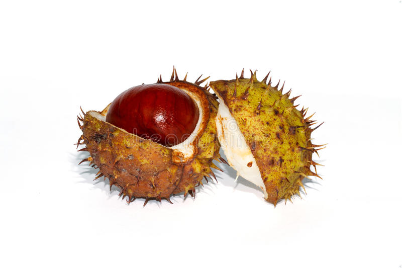 Chesnut skorrar öppen splittring royaltyfri bild