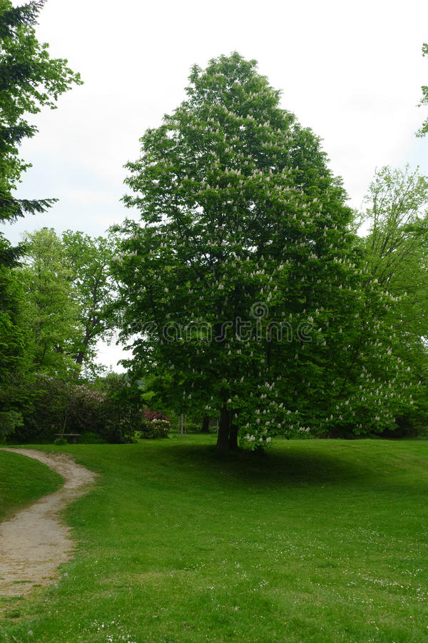 Chesnut tree stock photo