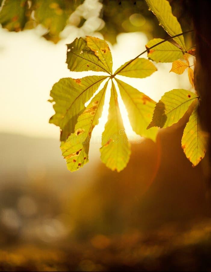 Chesnutblad tegen de zon stock afbeelding
