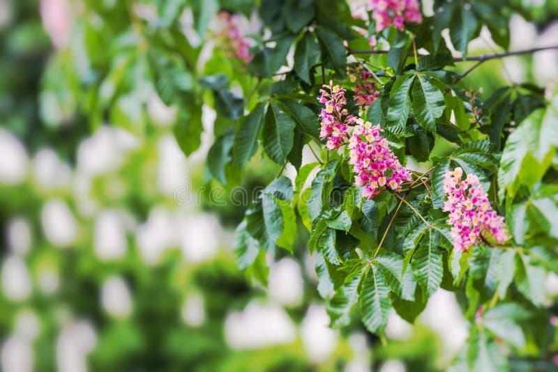 Chesnutbloemen op de boom Selectieve nadruk royalty-vrije stock afbeelding