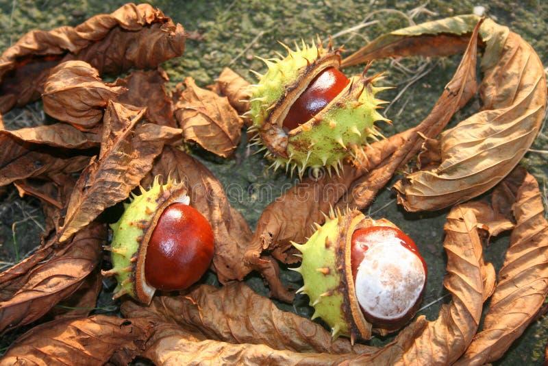 Chesnuts以在地面上的绿色与棕色叶子 免版税库存照片