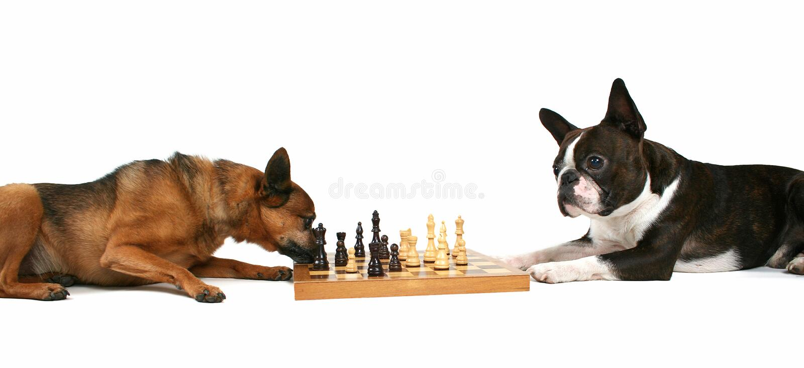 Download Chess dogs stock photo. Image of isolated, pair, background - 3307902