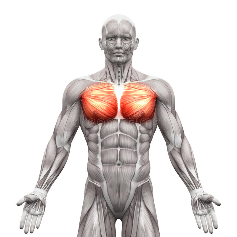 Chest Muscles - Pectoralis Major And Minor - Anatomy Muscles Iso ...