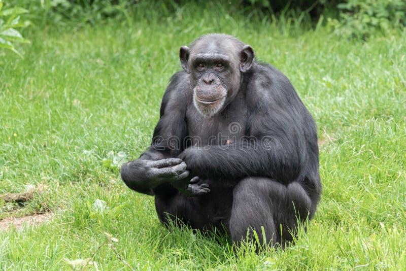 Chester, Cheshire, England - 1. Juni 2019: Gedankenverlorener erwachsener Schimpanse stockfotos