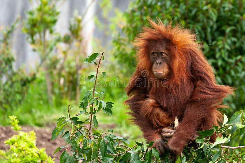 Chester Cheshire, England - Maj 12 2018: En ung orangutangPongoabelii som sätta sig uppe på en buske och att tugga ett blad fotografering för bildbyråer