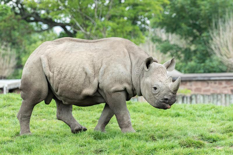 Chester, Cheshire, Inglaterra - 1 de junio de 2019: Rinoceronte Ancho-articulado blanco juvenil imagen de archivo libre de regalías