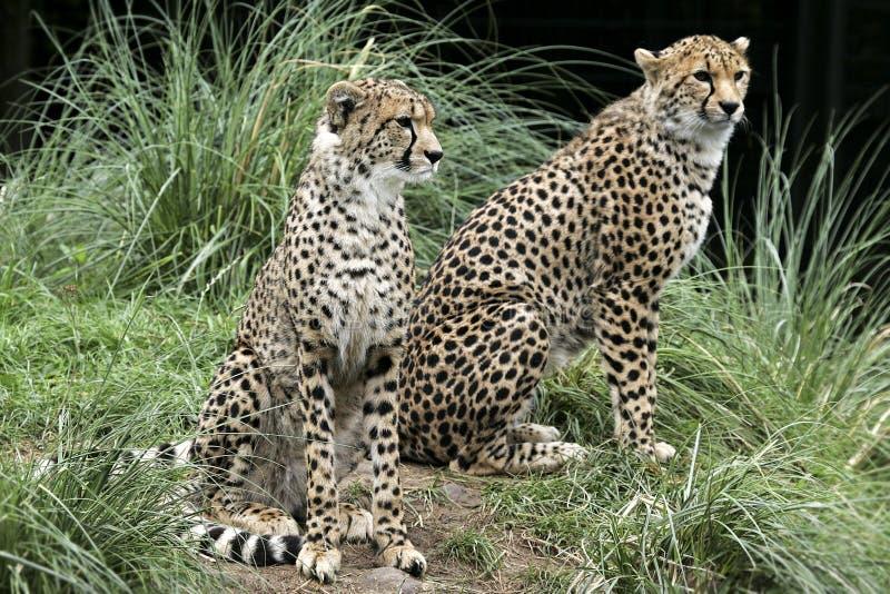 Chester-Zoo Asiat-Gepard stockbilder
