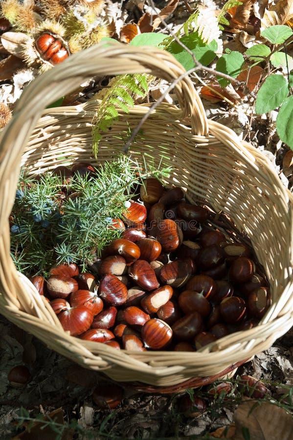 Chestnut Royalty Free Stock Photos