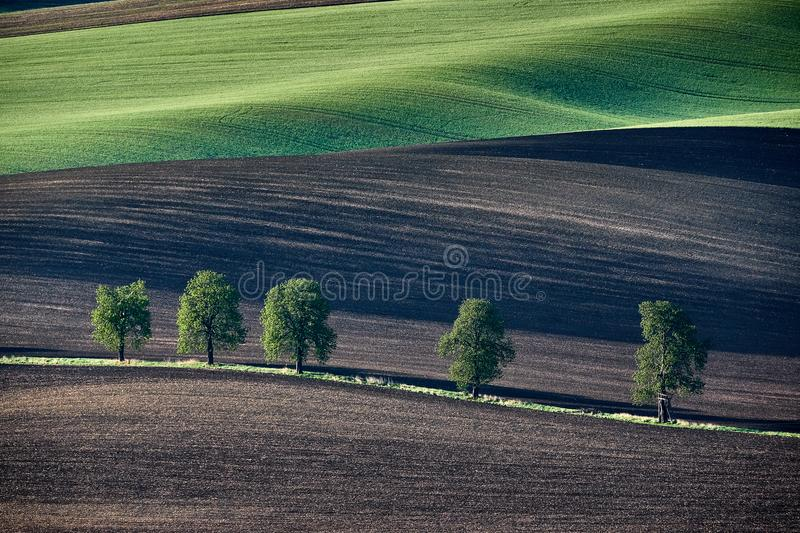 Chestnut alley in late spring on the slopes of the field at sunset. South Moravia. Czech Republic. royalty free stock image
