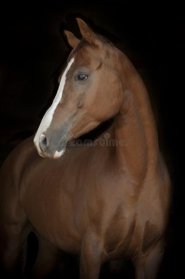 Chestnut arab horse on black stock image
