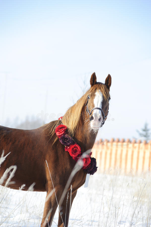 Download Chestnut Arab Horse Portrait Royalty Free Stock Photos - Image: 24226438