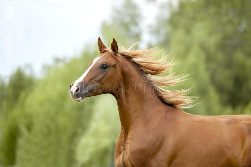Chestnut arab horse portrait in action runs free in summer royalty free stock photo