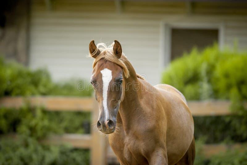 Chestnut arab horse portrait in paddock royalty free stock photo