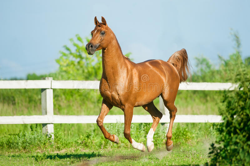 Chestnut arab stallion runs free in paddock in summer. The chestnut arab stallion runs free in paddock in summer royalty free stock image