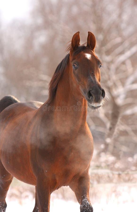 Chestnut arabian horse portrait stock photo