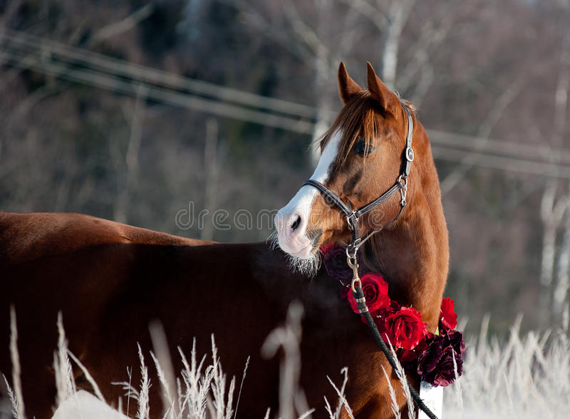 Chestnut arabian horse in winter royalty free stock photo