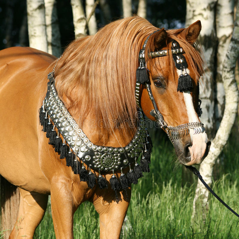 Chestnut arabian stallion with perfect harness royalty free stock photo