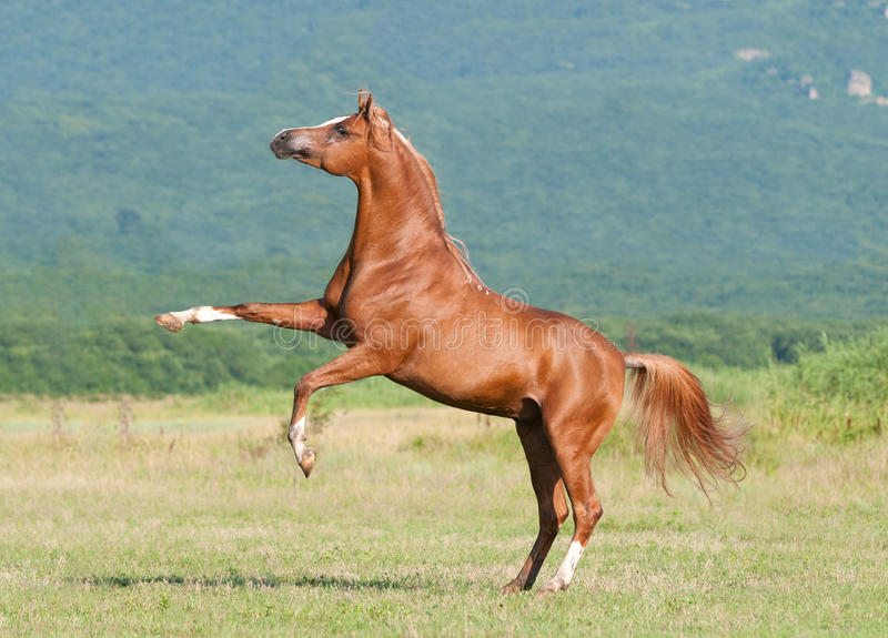 Download Chestnut Arabian Stallion Rearing Stock Photo - Image: 15679270