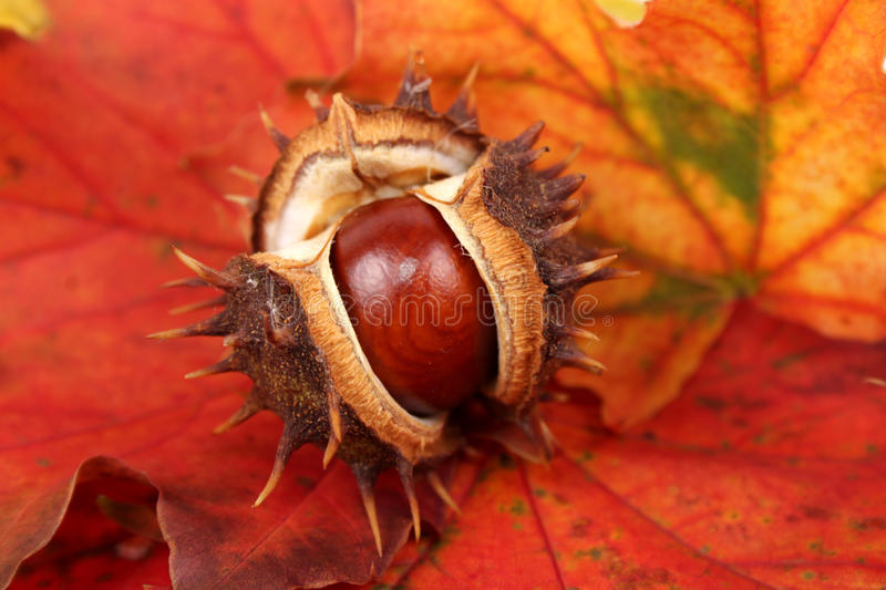 Chestnut on an autumn leaf royalty free stock photo