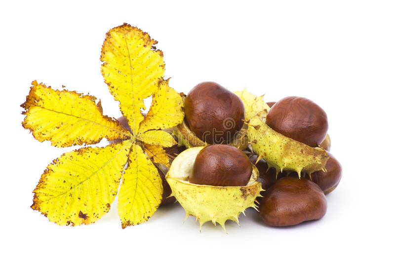 Chestnut and autumn leaf royalty free stock photography