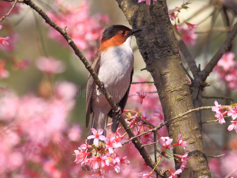Chestnut backed short footed bird in tree. Chestnut backed short footed bird sitting on branch of flowering tree in Hangzhou, Zhejiang Province, China royalty free stock photography