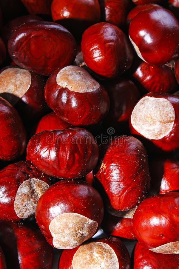 Chestnut background. Chestnuts as texture pattern cover wallpaper. Wild chestnuts whole brown autumn background- royalty free stock photos
