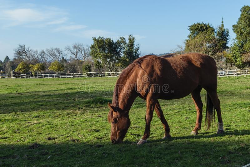 Chestnut beautiful horse eating green grass in a farm. Chestnut horse eating gress in a meadow in a farm. Equestrian or equine rural background. Relaxing time royalty free stock photo