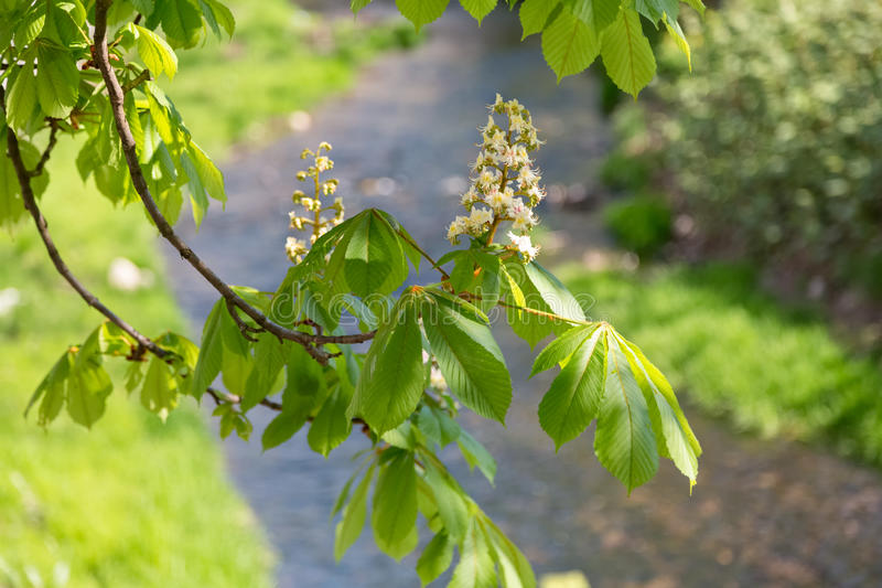 Download Chestnut Blossoms By The River Stock Image - Image: 92632799