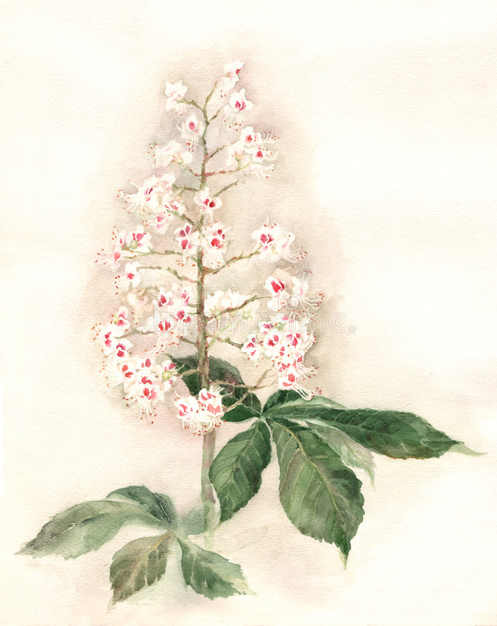 Chestnut blossoms watecolor painting. The hand drawn watercolor of a chestnut branch in bloom royalty free illustration