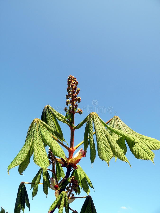 Download Chestnut branch with bloom stock photo. Image of blue - 14110492