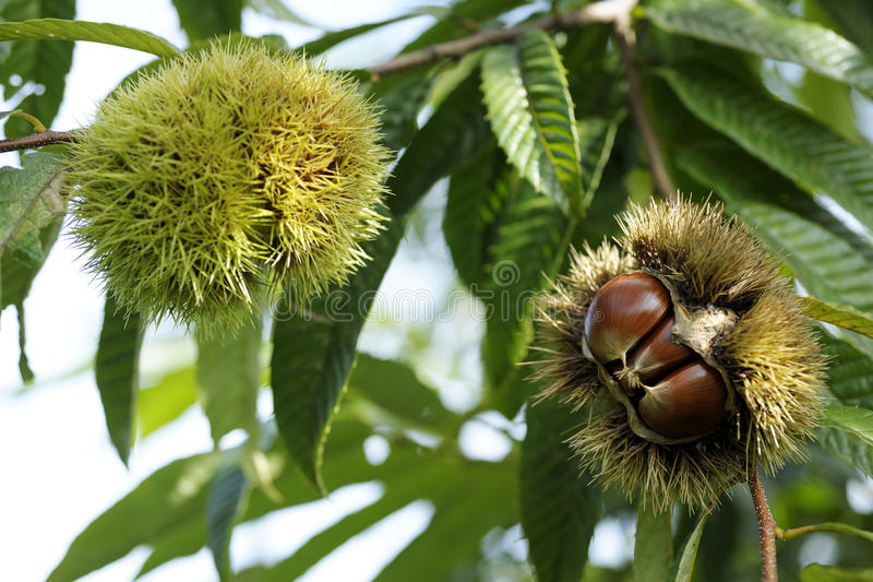 Download Chestnut with bur stock photo. Image of bunch, green - 21561878