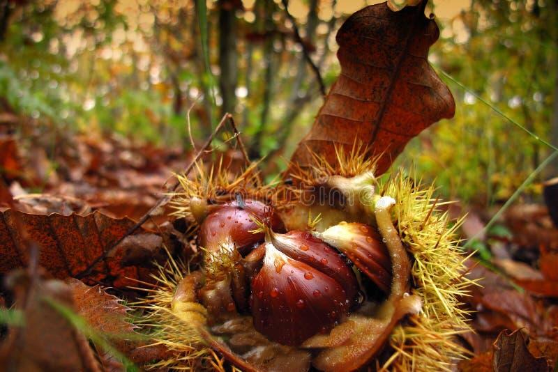 Chestnut (Castanea sativa) fruit stock photography