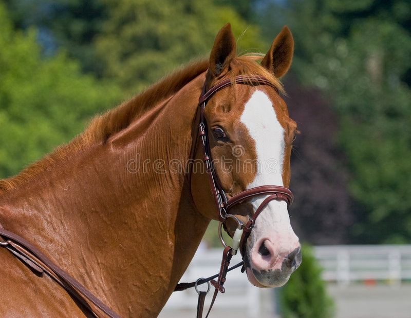 Chestnut colored horse royalty free stock photos
