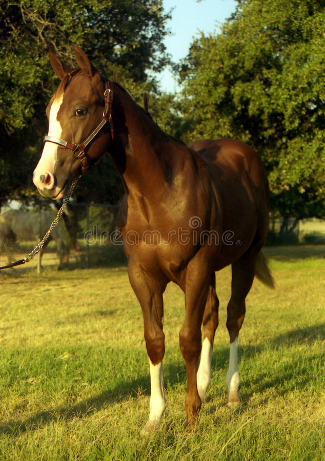 Download Chestnut Colt stock photo. Image of chestnut, stand, stockings - 179056