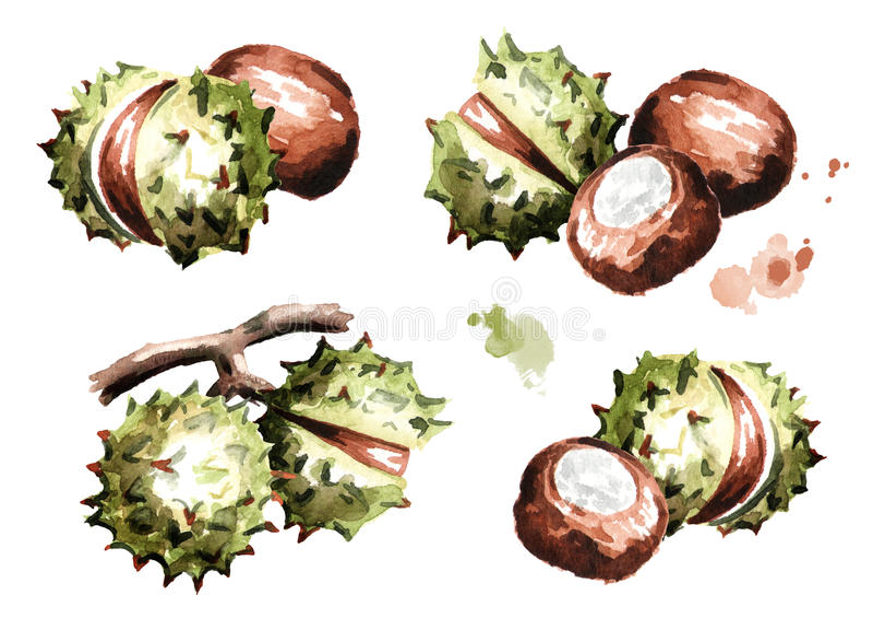 Chestnut compositions set. Hand-drawn illustration. Chestnut compositions set. Hand-drawn watercolor illustration vector illustration