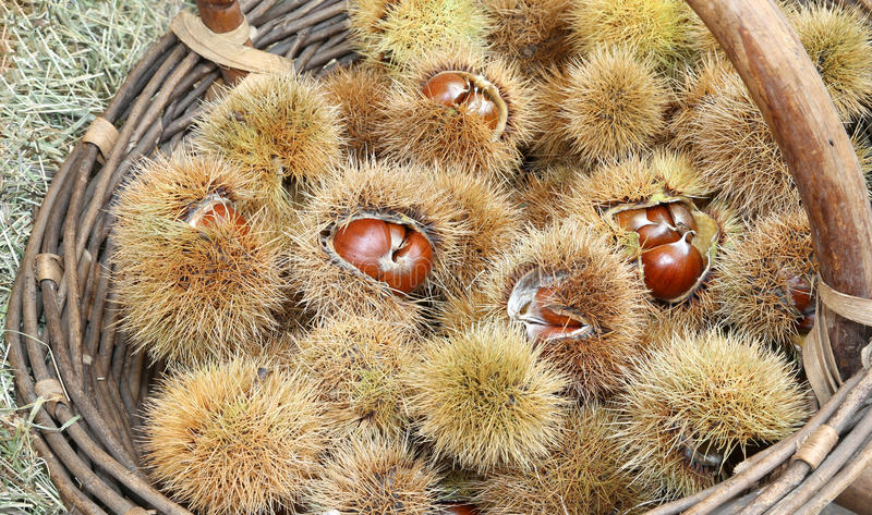 Chestnut curly and brown chestnut in the basket in autumn stock photography