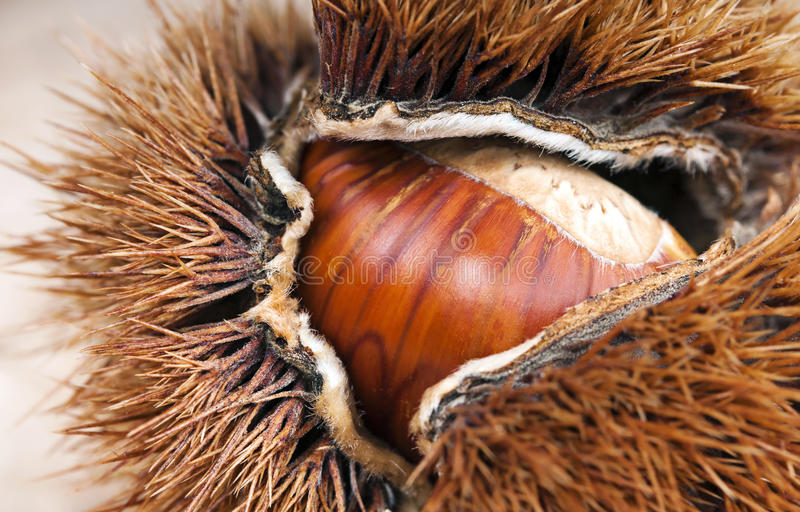 Chestnut and curly stock photos
