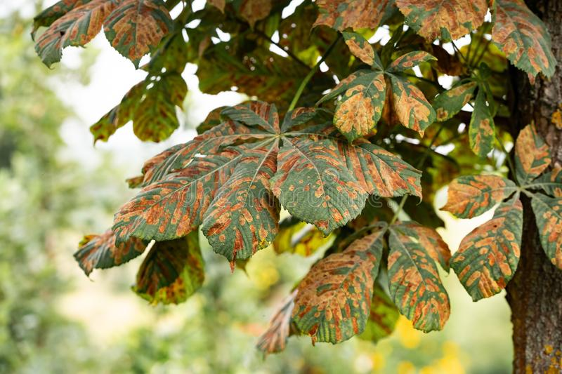 Chestnut disease. A closeup of damaged leaves stock photography